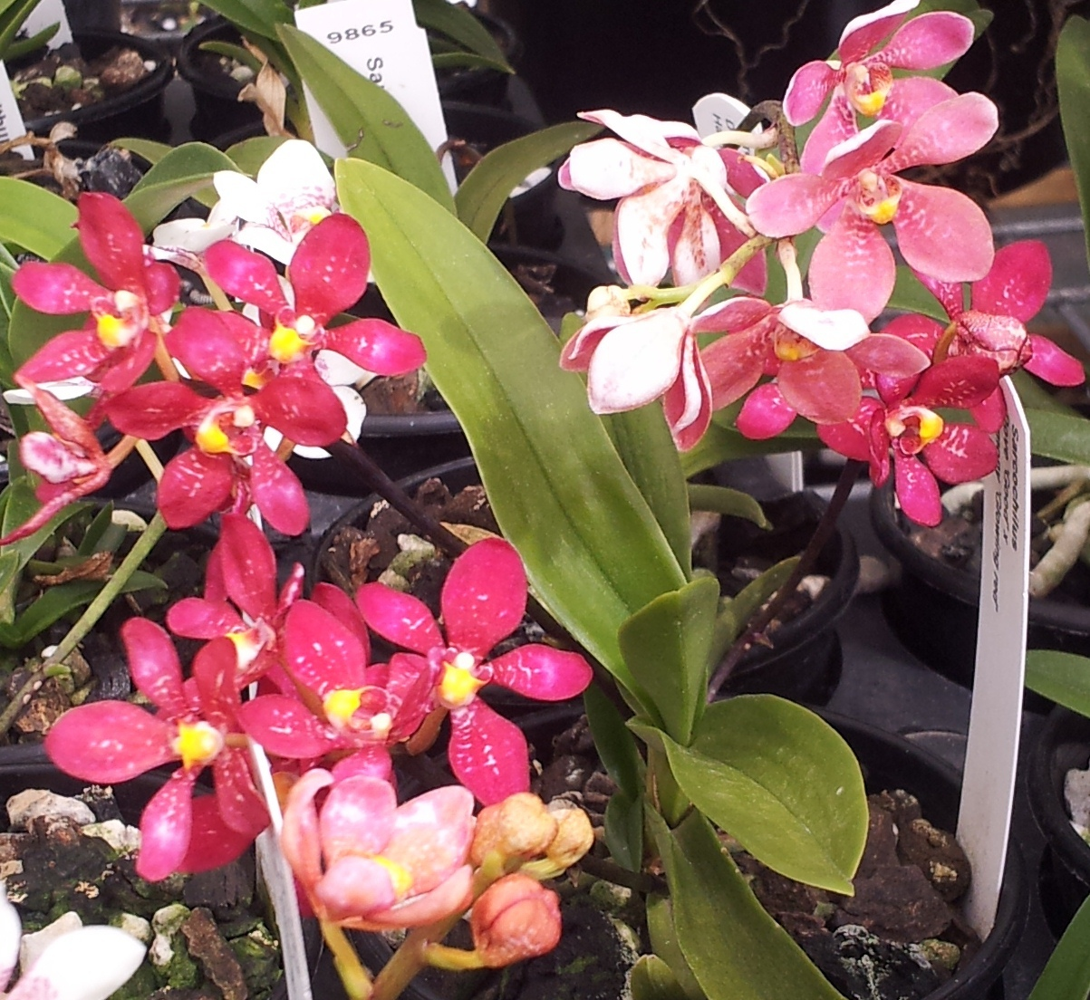 Keeping Sarcochilus Orchids happy in the heat